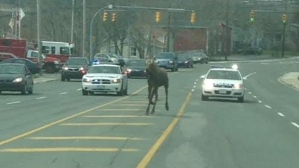 moose-on-topsail-road